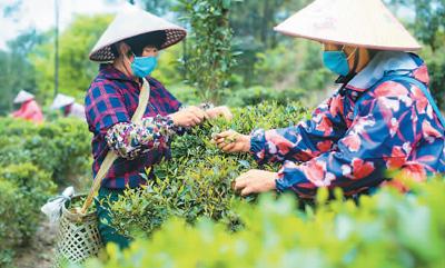 广西浦北 山间茶溢香 美景醉游人