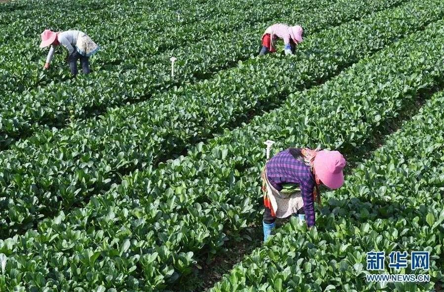"""广州从化发展生态产业,带动农民增收 干净水""""养""""有机菜"""