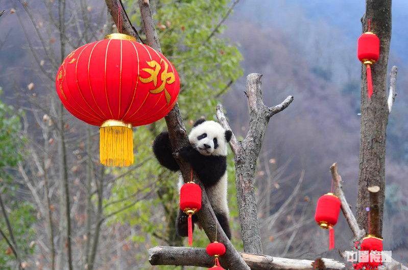 拜年啦!熊猫宝宝集体亮相 向全国人民恭贺新春